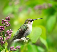 Spring Beauty Ruby Throat Hummingbird by Christina Rollo