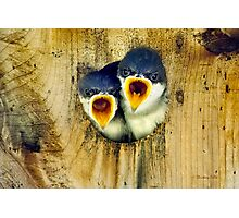Two Tree Swallow Chicks Photographic Print