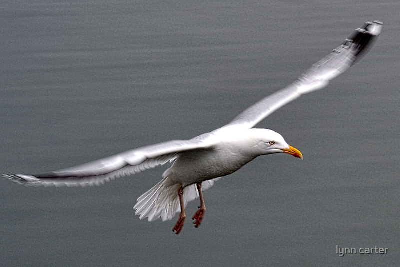 Gull In Flight by lynn carter
