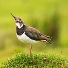 Lapwing by M.S. Photography & Art
