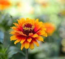 Golden Zinnia by MaryTimman