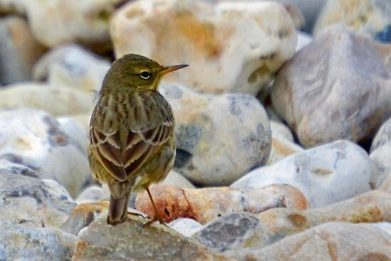 Rock Pipit On Monmouth Beach by lynn carter