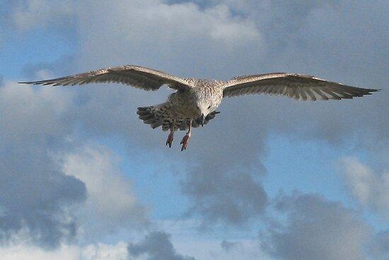 Juvenile Gull In Flight by lynn carter