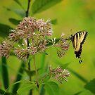 Eastern Tiger Swallowtail by Adam Kuehl