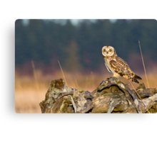 Short-eared Owl in Evening Light Canvas Print