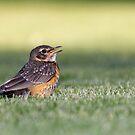 American Robin Fledgling by Tom Talbott