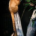 Golden Lion Tamarin by Steve Randall