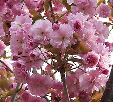 Pink profusion .. cherry tree blossoms by LoneAngel