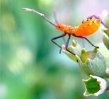 Ready to leap - assassin bug nymph by Stacie Forest