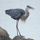 Heron on the Rocks by swaby