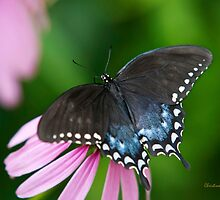 Spicebush Butterfly by Christina Rollo