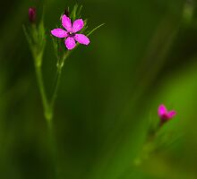 Deptford Pink Wildflower by Christina Rollo