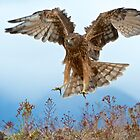 Wild NZ Kahu Hawk attack by focuscreative