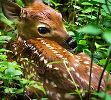 White-Tailed Deer Fawn by Christina Rollo