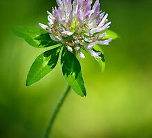 Purple Clover Flower by Christina Rollo
