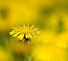 Yellow on Yellow Dandelion by Christina Rollo