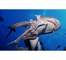 Whitetip Reef Shark Photographic Print
