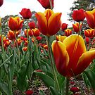 Tulips (1) by Wolf Sverak