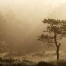 16.8.2014: Pine Tree, Summer Morning by Petri Volanen