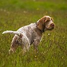 Italian Spinone ~ Brown Roan Puppy by heidiannemorris