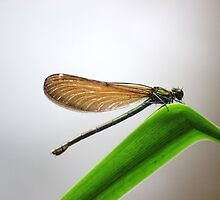 Female beautiful demoiselle by turniptowers