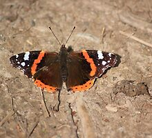 Red admiral on garden path by turniptowers