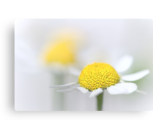Matricaria (German chamomile) (3) Canvas Print