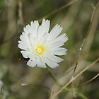 Calycoseris wrightii; White Tackstem; Along the Interstate 10 between Arizona & California by leih2008