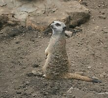 Mr. Meerkat Chillin' by dudddd