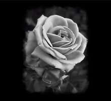 Pink Roses in Anzures 2 B&W by Christopher Johnson