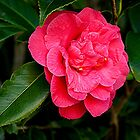 Camelia - full bloom........! by Roy  Massicks