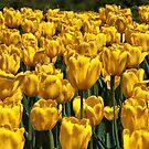 Yellow Tulips by PhotosByHealy