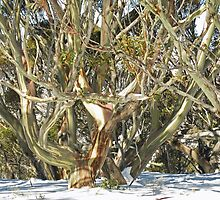 Colours of an entwined Snow Gum by Marilyn Harris