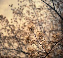 Sakura 桜 by Phillip Munro