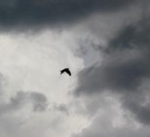 Crow flying in stormy sky Sticker
