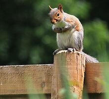 Grey squirrel on garden fence by turniptowers