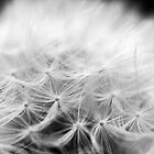 Dandelion #1 by axemangraphics