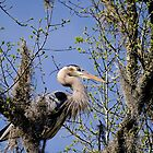 Great Blue Heron Very High in the Trees by imagetj