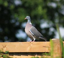 Wood pigeon on garden fence by turniptowers