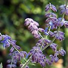 Russian Sage by Linda  Makiej