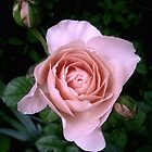 English Beauty Ambridge Rose by LouiseK