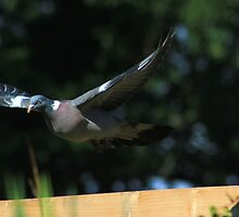 Wood pigeon flying over garden fence by turniptowers