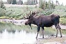 Thirsty moose a Thursday morning by Eivor Kuchta