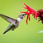 Hungry Hummingbird by Christina Rollo