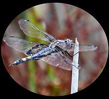 The Black Dragonfly by Christina  Ochsner