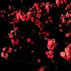 A Patch of Red© by walela