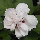 Double White Rose of Sharon by Linda  Makiej Photography