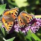Two Tortoiseshell butterflies No 11 by Rivendell7