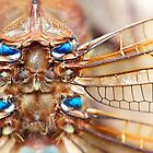 the dragonfly's sapphire by HannelePhoto
