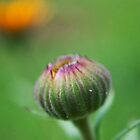 Flower Bud by Thomas Stayner